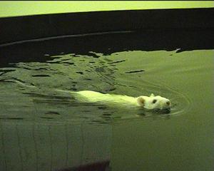 Banjir Waspada Penyakit Kencing Tikus
